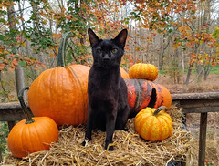 Getting Ready for Halloween (annette.allor) Tags: halloween black cat celebrate pumpkins woods autumn leaves colors blackcat chausie happyhalloween outdoors outside kakashi