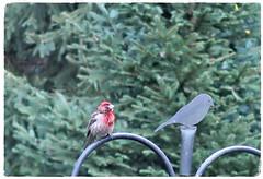 looking a little ruffled (karma (Karen)) Tags: trees birds backyard dof bokeh maryland baltimore spruce hbw hww finch cmwd