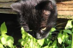 Happy  November  Flickr  Friends (excellentzebu1050) Tags: cat pet animal closeup farm animalportraits coth5