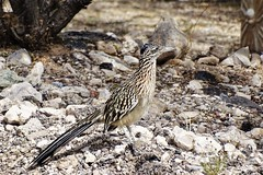 20191030 Greater Roadrunner - Geococcyx californianus (lasertrimman) Tags: 20191030 greater roadrunner geococcyx californianus greaterroadrunner geococcyxcalifornianus cuckoofamily cuculidae