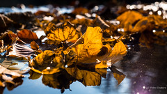 Falling leaves; a sign of death or an opportunity for a new beginning? (Peter Jaspers) Tags: frompeterj© 2019 olympus zuiko omd em10 1240mm28 autumn herfst beekhuizen landgoedbeekhuizen beekhuizerbeek beek stream brook rheden veluwezoom natuurmonumenten fall colors light bokeh 169 widescreen reflections