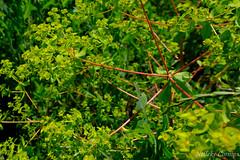 Euphorbia platyphyllos (Nelleke C) Tags: 2019 broadleafspurge buitenlandsweekend france frankrijk lorraine viller bredewolfsmelk countryside euphorbiaplatyphyllos euphorbiaceae flora grasland grassland hooiland meadow platteland