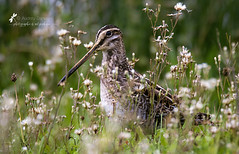 Bécassine des marais (fleurbleue31) Tags: bécassinedesmarais gallinagogallinago commonsnipe charadriiformes scolopacidés