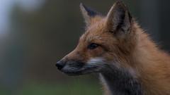 The Fantastic Mr. Fox (jakegurnsey) Tags: fox wildlife sony canada ontario gm 100400mm f4556 sunlight fall animal nature