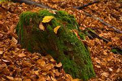 Nature is a paint box (Ernst_P.) Tags: 105mm a99ii aut f28 herbst hof inzing macro österreich sigma sony tirol wald laubwald baumstamm