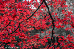 Autumn Acer (PapaPiper) Tags: autumn autumncolours westonbirtarboretum gloucestershire england unitedkingdom uk acer tree red leaf leaves elitegalleryaoi bestcapturesaoi aoi