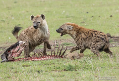 Spotted Hyena - Crocuta crocuta (rosebudl1959) Tags: 2017 kenya masaimara zebraplains spottedhyena november