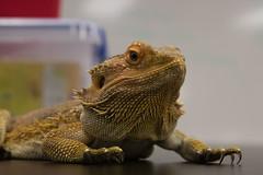 Mushu (Crimson2029) Tags: dragon bearded reptile scales macro lizard beardeddragon