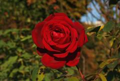 Edelrose 'Ingrid Bergman' (Wolfgang Bazer) Tags: edelrose ingrid bergman teehybride hybrid tea rose blüte blume flower blossom volksgarten wien vienna österreich austria