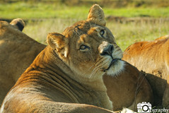 Female African Lion Watching (Mike House Photography) Tags: african lion male female big cat 5 animals mammals mammal africa feline orange gold golden fur whiskers grass walking lying prowling scowling looking searching seeking conservation photography photograph