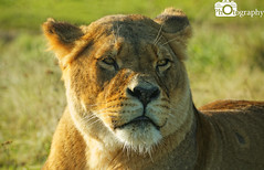 Female African Lion Scowl (Mike House Photography) Tags: african lion male female big cat 5 animals mammals mammal africa feline orange gold golden fur whiskers grass walking lying prowling scowling looking searching seeking conservation photography photograph