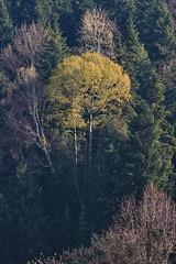 Piątkowa Silver birch on a distant hillside IMG_4793 b (david.neville2776) Tags: piątkowa podkarpacie brzoza hillside silver birch