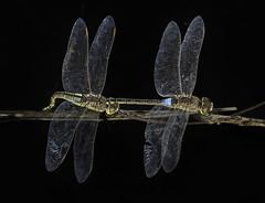 Ephippiger a mis pies (svjg67) Tags: anaxephippiger puesta libélulas dragonflies odonatos