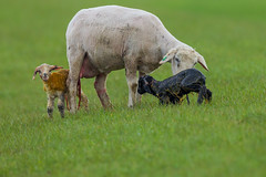 ...doesn´t matter if your black or white! (appelmost c/o Klaus Günther) Tags: blackorwhite sheep slipitsyoung twin geburt schaf deichkinder shepherd birth newborn lamb lamm schwarzesschaf