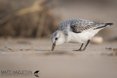 Sanderling (Matt Hazleton) Tags: sanderling calidrisalba sand beach coast sea shore shorebird wader bird animal nature wildlife outdoor canon canoneos7dmk2 canon100400mm eos 7dmk2 100400mm matthazleton matthazphoto titchwell titchwellmarsh rspb rspbtitchwellmarsh rspbtitchwell norfolk