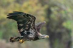Bald Eagle Immature (Jerry_a) Tags: baldeagle eagle raptor birdinflight birdsofprey conowingodam wildlife nature