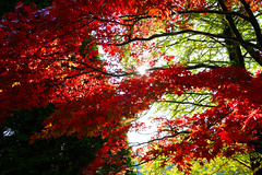Sussex Autumn Reds (Adam Swaine) Tags: red trees autumn autumncolours autumnviews beautiful sheffieldpark sussex sussexgardens leaves england english britain british seasons uk ukcounties counties gardens sunlight walks naturelovers nature nationaltrust westsussex