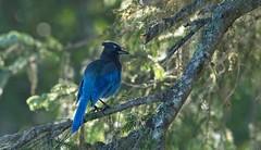 20190827Z7_4604 (cisco42) Tags: bc britishcolumbia canada stellerjay tree blue bird