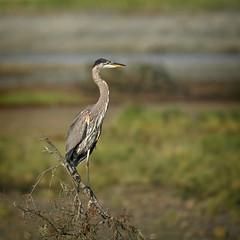 20190827Z7_4594 (cisco42) Tags: bc greatblueheron britishcolumbia canada creek bird cluxeweestuary