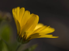 Exposing for the light (Jan.Timmons) Tags: calendulaofficinalis flower asshot exposedforthelight yellow gold outdoors outside naturephotography phototherapy pacificnorthwest selectivefocus shallowdepthoffield calendulaofficinalisflower nikkor105mmf28gifed