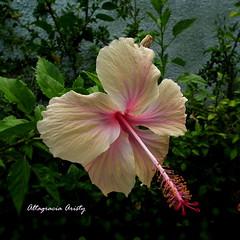 Hibisco/Hibiscus/Cayena (Altagracia Aristy Sánchez) Tags: hibisco hibiscus cayena laromana repùblicadominicanba dominicanrepublic quisqueya