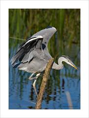Heron-6 (prendergasttony) Tags: bird birdwatching water wings wild wildlife nikon d7200 tony prendergast nature pennington feathers flight feet climbing blue