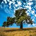 Oak Tree & Sky