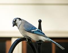 Blue Jay (mahar15) Tags: jay birds outdoors wildlife bluejay bird nature