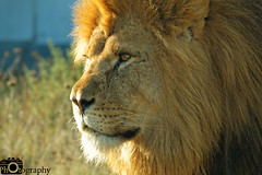 Male African Lion Close (Mike House Photography) Tags: african lion male female big cat 5 animals mammals mammal africa feline orange gold golden fur whiskers grass walking lying prowling scowling looking searching seeking conservation photography photograph
