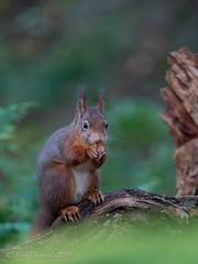 Red Squirrel (eric-d at gmx.net) Tags: redsquirrel squirrel eichhörnchen sciurus vulgaris sciurusvulgaris eric naturepicturede wildlife wald forrest