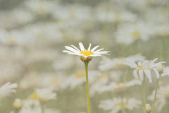 Single daisy with hazy background in a field (Malisa Nicolau) Tags: asteraceae asterales compositae plants textures blooming blooms buds daisies daisy daylight field flower flowers landscape leaf leaves many nature outdoors outside park petals single softness stamen stems sunlight white yellow