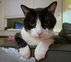 Oliver has Catitude (Mr.TinDC) Tags: oliver cat cats pets animals cute tuxedocat