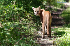 midday florida panther. (evelyng23) Tags: florida usa wild cat afternoon wildlife lunchtime swamps puma midday panther cougar floridapanther pumaconcolorcoryi fall nature collier october feline pentax 2019 420mm swflorida 14xtc sigma300mmf28 pentaxk3 evelyng23 preserve endangered