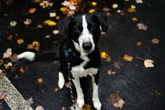 (RichardGlenSailors) Tags: dog border collie rain fall autumn sony alpha a7r vintage lens manual focus