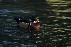 Wood Duck, Aix sponsa (Dave Beaudette) Tags: birds woodduck aixsponsa reidpark tucson pimacounty arizona