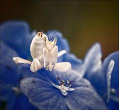 Something Borrowed (Kathy Macpherson Baca) Tags: insect macro flower hydrangea mantis white world nature planet tiny predator delicate invertebrate