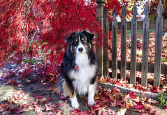 Fall (jayvan) Tags: dash aussie australianshepherd fall leaves maple home portland oregon fallcolors colorful twtme