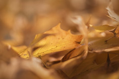 From today's walk, part 1 (macro sleuth) Tags: outdoors outside naturephotography phototherapy pacificnorthwest mapleleaves fallen autuum gold yellow acerrubrum nikkor105mmf28gifed sunlight selectivefocus shallowdepthoffield