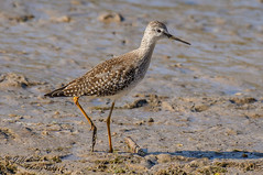 DSC6004a  Lesser Yellowlegs... (Jeff Lack Wildlife&Nature) Tags: lesseryellowlegs yellowlegs avian animal animals birds bird birdphotography wildlife wildbirds wetlands wildlifephotography waterways waders jefflackphotography summerpassage summervagrant estuaries estuary reservoirs lakes marshland marshes nature naturephotography nikon ornithology