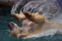 Polar Bear doing back flips (Arvo Poolar) Tags: outdoors ontario canada scarborough torontozoo arvopoolar nikond500 naturallight polarbear carnivore water action