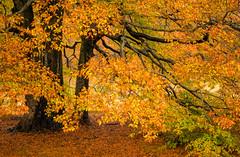 Caumsett State Park 2019 (willsdad48) Tags: caumsettstatepark longisland newyork newyorkstateparks huntington landscapephotography landscape hiking fallfoliage fallcolors autumn trees leaves misty moody nikon nikonusa z6 travel travelphotography
