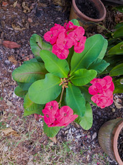 Euphorbia milii Des Moul. Euphorbiaceae-Crown of thorns, โป๊ยเซียน 6e (SierraSunrise) Tags: thailand phonphisai nongkhai isaan esarn plants flowers euphorbia euphorbiaceae ornamentals spiny thorny red