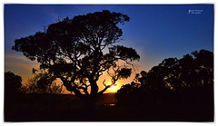 Gumtree - Sunrise 31 October 2019 (John Panneman Photography) Tags: merigansheepfarm tarago mountfairy bungendore nsw australia panneman nikon d610 sheep farm station working merino field agriculture timdemestre sheepfarm crutching drenching shearer lamb ewe ram homestead shearing shearingshed silo dog workingdog stars milkyway road silos night fog morning light sunrise arlo uriahheep