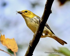 Black-throated Green Warbler (Mary Sonis) Tags: warbler nature bird migration north carolina