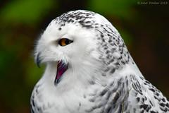 Snowy Owl (Arvo Poolar) Tags: outdoors ontario canada scarborough torontozoo arvopoolar nikond500 naturallight bird snowyowl raptor birdofprey perched