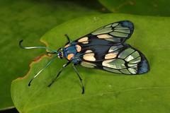 Chalcosiine Day-flying Moth (Trypanophora semihyalina, Chalcosiinae, Zygaenidae) (John Horstman (itchydogimages, SINOBUG)) Tags: insect macro china yunnan itchydogimages sinobug entomology canon moth lepidoptera chalcosiinae zygaenidae fbipm topf25 tweet tumblr fb