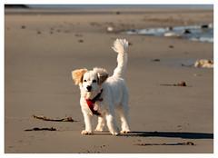 happy happy (marneejill) Tags: cute white dog friendly beach welcome play sand fluffy