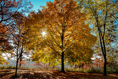 October Glow (amillionwalks) Tags: tree october fall 2019 foliage sun star picnic park mohawk colours morning fave leaves favetree