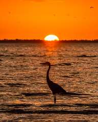 Great Blue Heron at Sunset (nate.arnold) Tags: beach bunchebeach d500 florida floridanature floridawildlife fortmyers fortmyersbeach natearnold natearnoldphotography nikon nikond500 feathers wildlife wildlifephotography wings water waterbird wadingbird wetland waves sunset sunrise sun birdphotography bird birding birds nature naturephotography heron greatblueheron