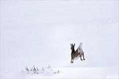 Young Buck (jan lyall) Tags: whitetaildeer buck deer snow winter minimalism waterton watertonlakesnationalpark wildlife animal wildanimal